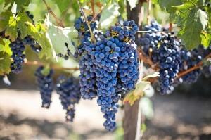 purple-grapes-553464_640-min